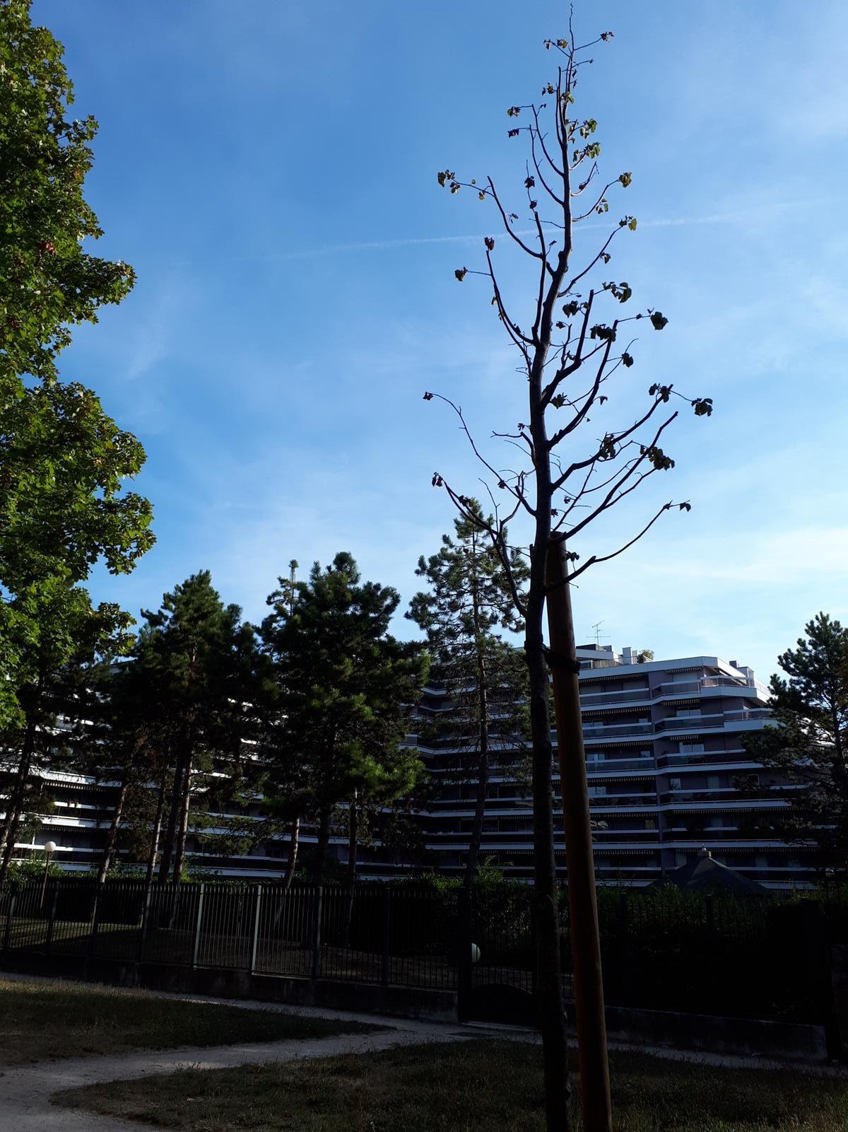 Arbrees Allées du Parc 09 2018 (4)