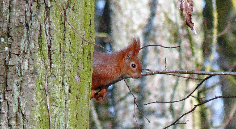 ecureuil-2-parc-de-la-colombiere-dijon